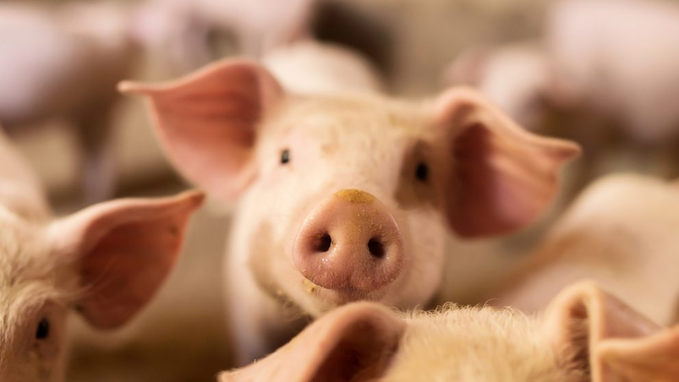 That's Some Pig: How AI's Serving Up Better Pork in China   Alizila com