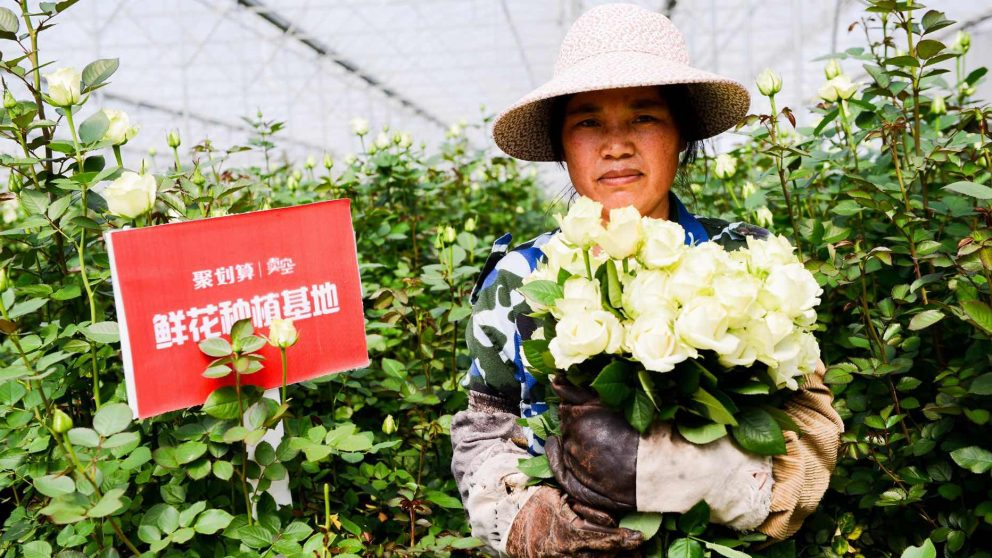 Yunnan farmer holding roses to be sold through Juhuasuan's Valentines Day campaign