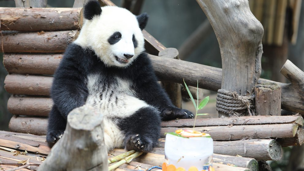 Alibaba News: Panda on Taobao Live